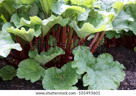 A Healthy Rhubarb on a Bright Sunny Day. - stock photo