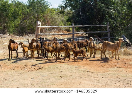 A heard of goats in south India - stock photo