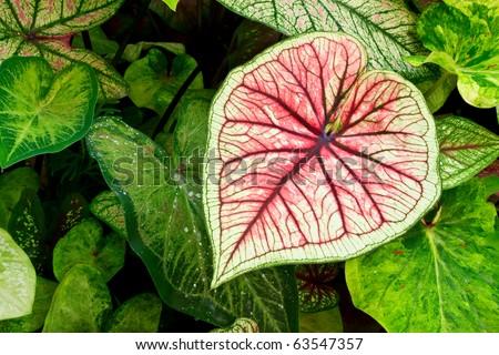 A Heart-shape Caladium in the middle of Caladium garden - stock photo
