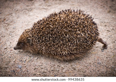 A hedgehog headily hurries by land - stock photo