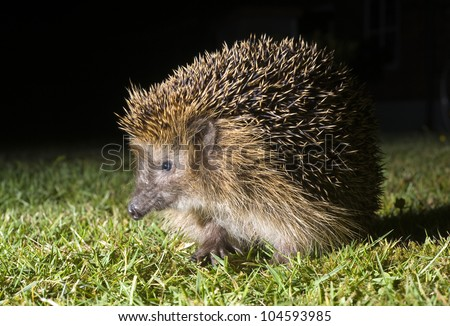 A hedgehog is walking in the grass in the dark in a garden