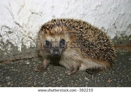 A hedgehog looking towards the camera - stock photo