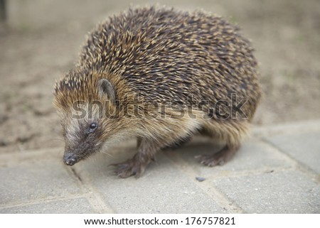 A hedgehog on the street