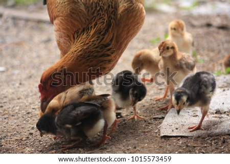 A hen and Chicks searching for food.