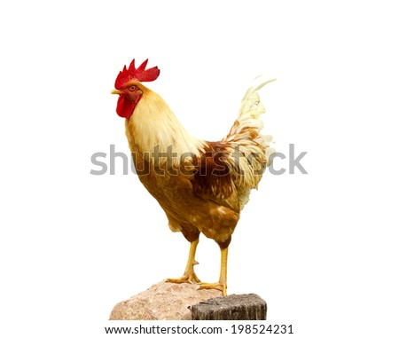 A hen chicken in white background - stock photo