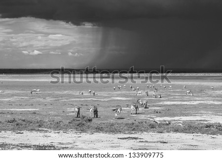 A herb of zebras and the approaching storm in Lake Manyara National Park - Tanzania, Eastern Africa (black and white) - stock photo