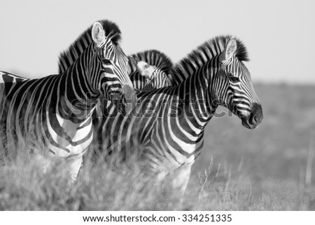 A herd / dazzle of Burchells zebra, in this beautiful landscape photo with golden morning light and one zebra peeking at us,taken in Addo Elephant national park, eastern cape,south africa