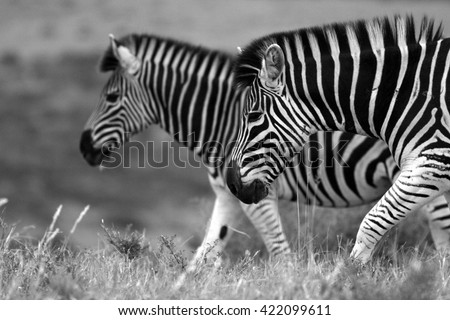A herd / dazzle of Burchells zebra, in this beautiful landscape photo with golden morning light and one zebra peeking at us,taken in the eastern cape,south africa - stock photo