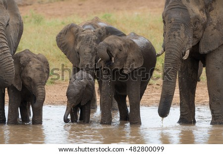 A herd of African bush elephants (Loxodonta africana) drinking from a waterhole in the Kruger National Park, South Africa