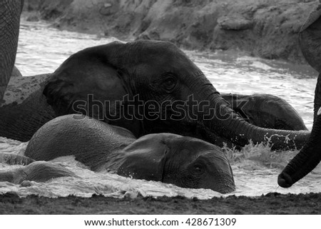 A herd of African elephant's splashing,playing and drinking at a waterhole. Taken on safari in the Eastern cape,south africa - stock photo
