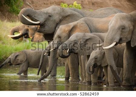 A herd of african elephants drinking at a waterhole in botswana - stock photo