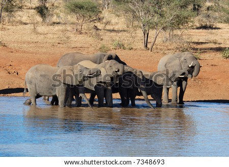A herd of African Elephants drinking water.