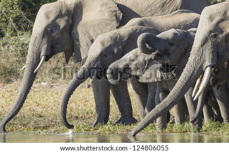 A herd of African elephants drinking water from a natural pan in Kruger Park, South Africa - stock photo
