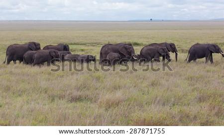 A herd of African Elephants (loxodonta) in Amboseli National Park, Kenya, East Africa.  - stock photo