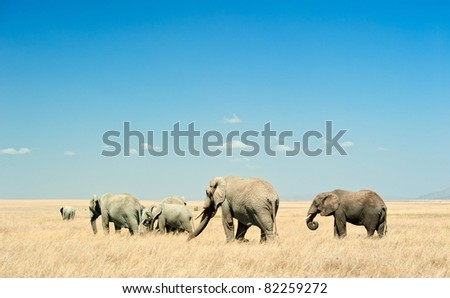 A herd of African Elephants (loxodonta) is moving in the dry plains of Serengeti National Park in Tanzania, East Africa. - stock photo