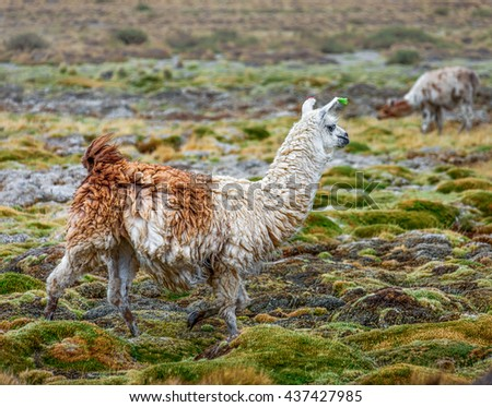 A herd of alpaca and lama grazing in the desert plateau of the Altiplano, Bolivia, South America