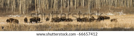 A herd of American Bison (Bison bison) in Elk Island National Park Alberta, Canada. - stock photo