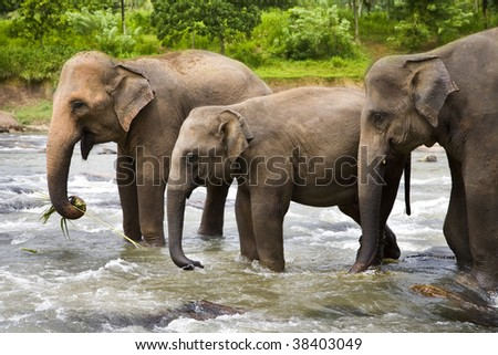 A herd of Asian Elephants cross a large river - stock photo