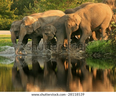 A herd of Asian elephants (Elephas maximusswim) takes a late afternoon swim - stock photo