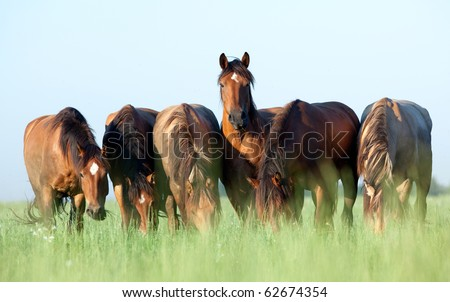 A herd of Belorussian harness horses in field at sunrise, eating grass. - stock photo