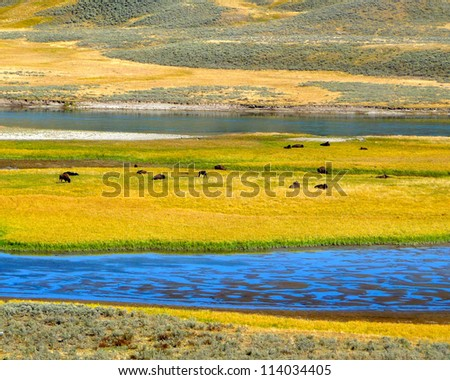 a herd of bison in Hayden Valley in Yellowstone National Park - stock photo