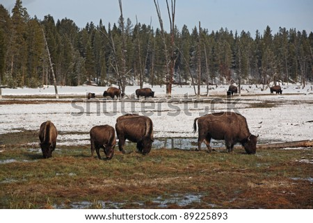 A herd of bison moves in Yellowstone National Park. - stock photo