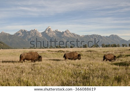 A herd of bison moving across the open with the grand tetons in the background - stock photo