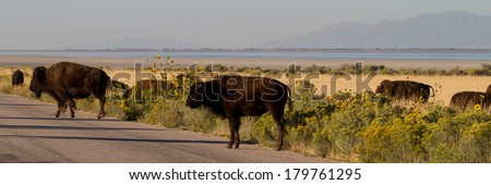 A herd of Bison or Buffalo cross a road in Antelope Island State Park in Utah - stock photo