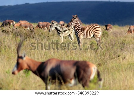 A herd of blesbuck and a herd of zebra mixed together in this image. South Africa