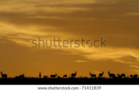 A herd of Blesbuck antelope on the plains under the setting sun. - stock photo