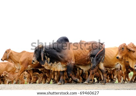 a herd of brahman cattle - stock photo