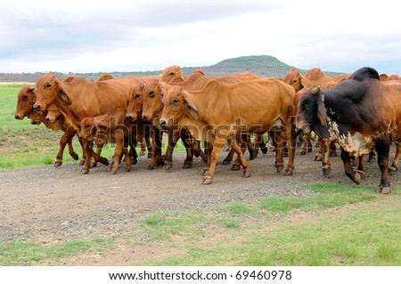 a herd of brahman cattle