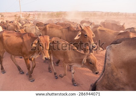 A herd of brown Cows back to cowshed in the evening - stock photo