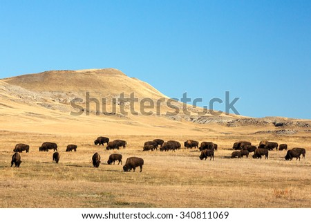 A herd of buffalo (a.k.a. American bison) grazing on the open plains. - stock photo