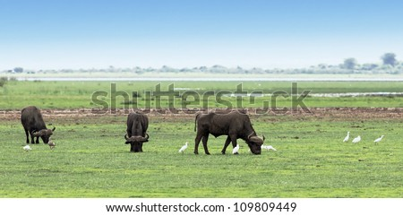 A herd of buffalo and white herons in the Lake Manyara National Park - Tanzania, East Africa - stock photo