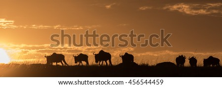 A herd of buffalo in Kenya at sunset with orange cloudy sky.