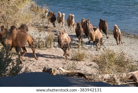A herd of camels to drink runs - stock photo