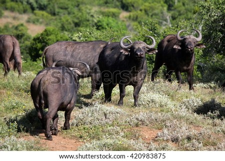 A herd of Cape Buffalo. South Africa - stock photo