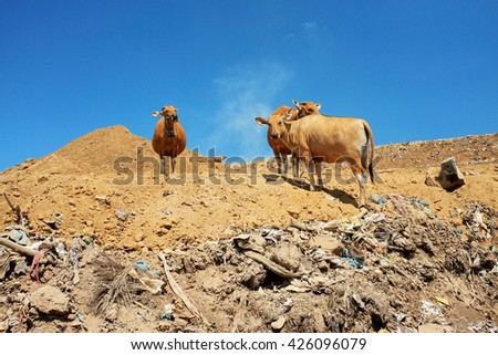 A herd of cattle scavenges for food amid plastic bags, hazardous industrial waste and toxic garbage at the biggest and most polluted landfill site on the holiday resort island of Bali, Indonesia. - stock photo