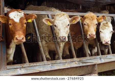 a herd of cattle with their heads poking through the feeder railings all looking forward curiously. - stock photo