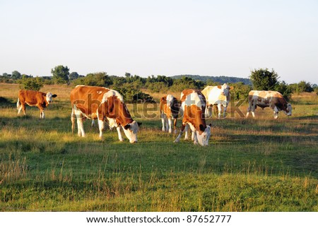 A herd of cows graze on the lush pasture in Sunrice. - stock photo