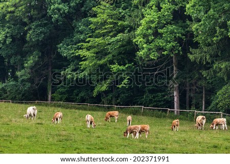 A herd of cows grazing and resting on a pasture in Austria on a cloudy summer day - stock photo