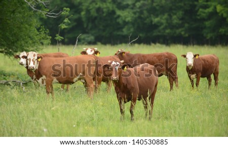 A herd of cows grazing in pasture in the summertime - stock photo