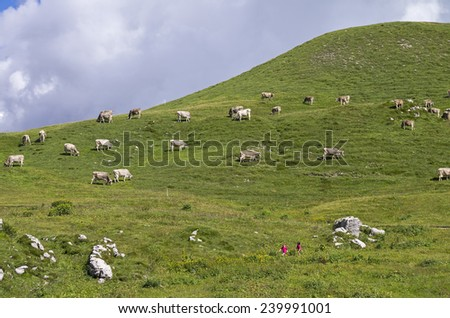 A herd of cows on a mountain pasture. Alps, Italy. - stock photo