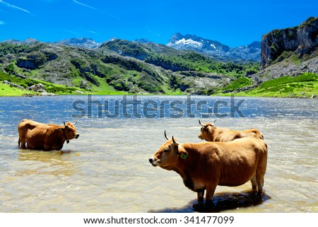 A herd of cows on the watering. Lake Ercina. Cantabrian. Covadonga. Asturias. Spain - stock photo