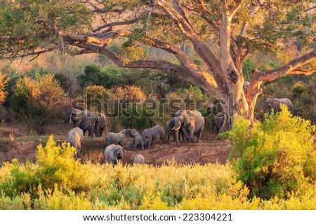 A herd of Elephant at the Kruger National Park in South Africa - stock photo