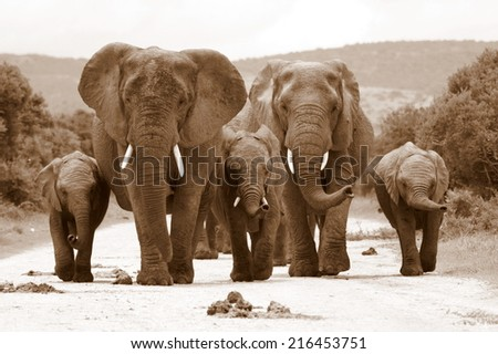 A herd of elephant on the move and walking towards the camera in this sepia tone image.. South Africa - stock photo