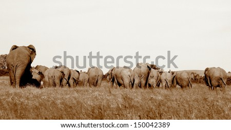 A herd of elephant showing their butts as they move off. All shapes and sizes. Taken in South Africa. - stock photo