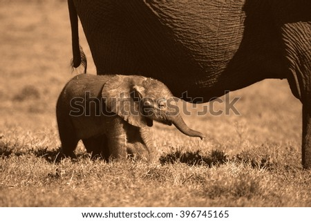 A herd of elephant walk across an open field. They surrounding and protecting the new baby elephant.South Africa - stock photo