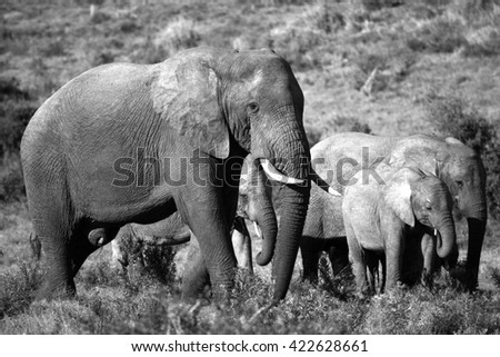 A herd of elephant walk towards the camera. They surrounding and protecting the new baby elephant. South Africa - stock photo